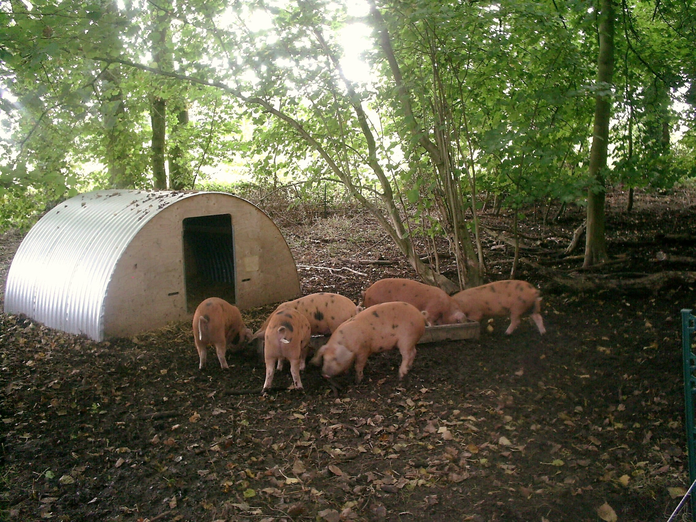 pigs at Coopers farm