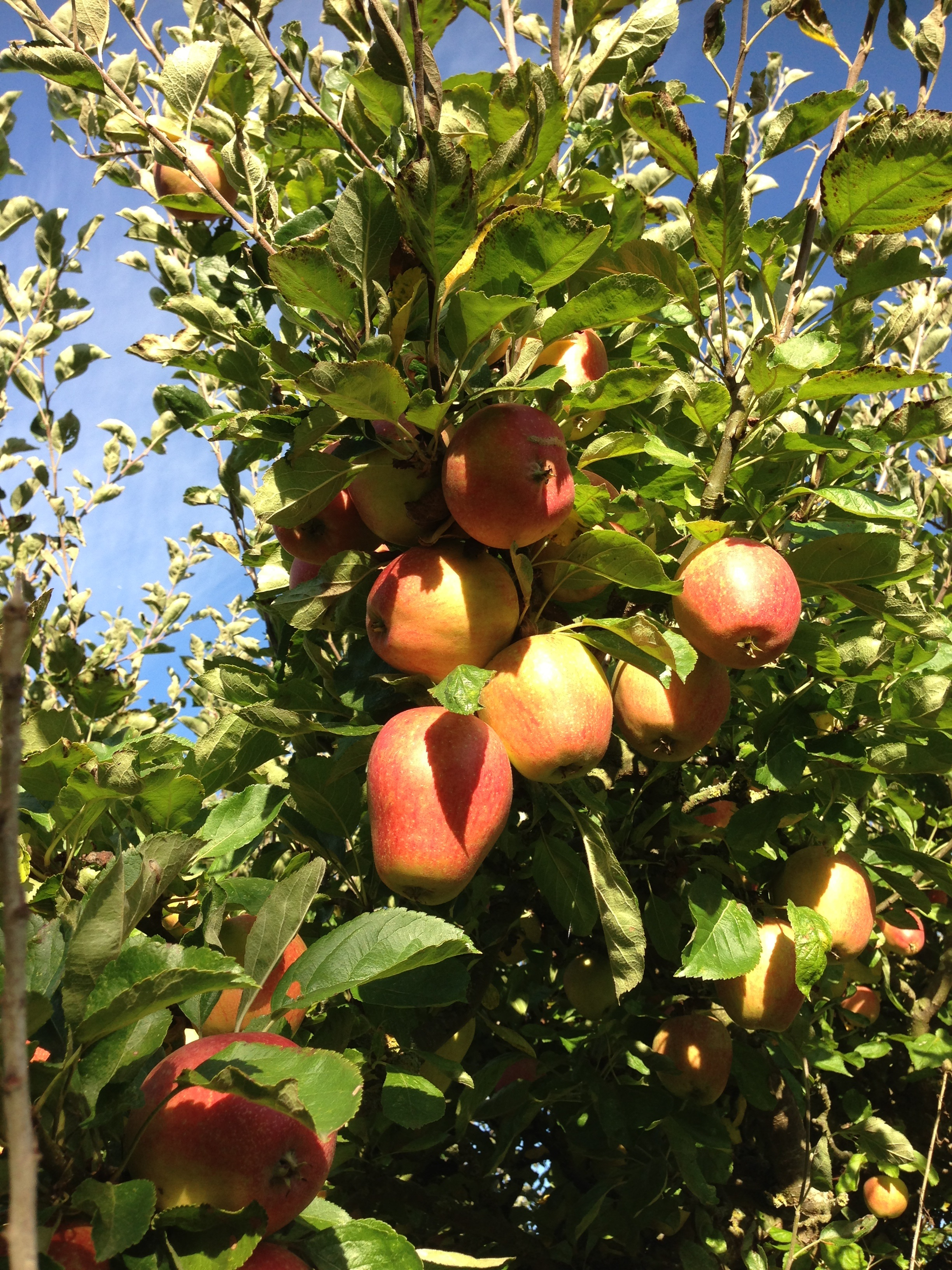 Tiddly Pommes - apples on apple tree branch